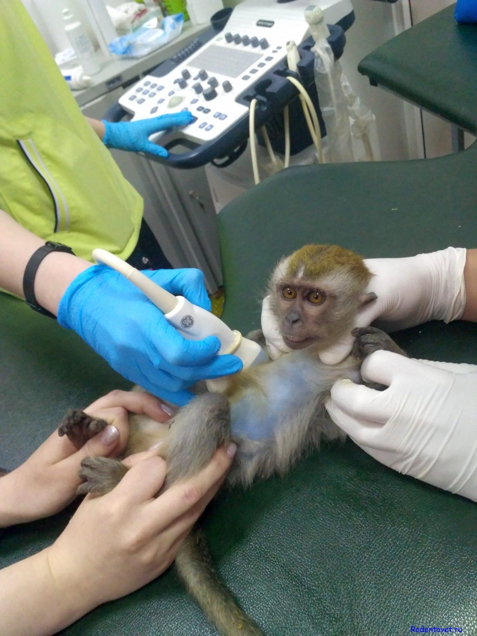 Ультразвуковое исследование примата